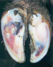 Une coloration bleuâtre indique une fourbure subclinique.