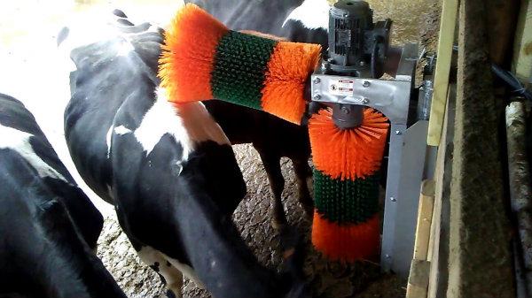 Comme la brosse constitue un point d'intérêt pour les vaches, il faut la disposer judicieusement pour éviter de créer des embouteillages.