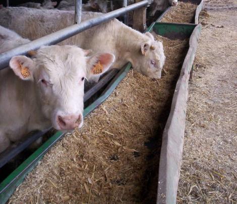 L'amélioration du bien-être animal était à l'ordre du jour des journées techniques de l'engraissement du bétail organisées par Südplus.
