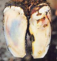 Des colorations jaunâtres et rougeâtres dans la sole sont des signes précurseurs de fourbure.