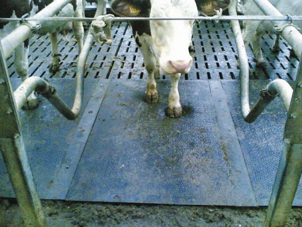 Le profil biseauté à l'arrière du tapis Kew + ménage les articulations et évite aux vaches de trébucher.