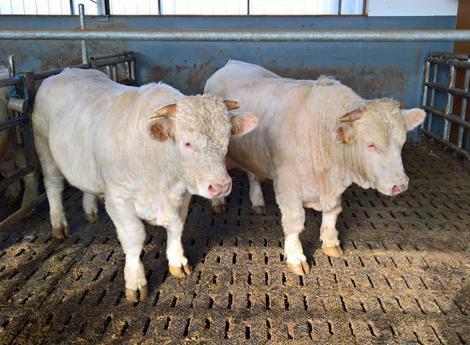 Les tapis caoutchouc LOSPA SB de KRAIBURG dans l'élevage de taurillons Kobold.
