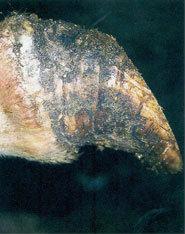 La muraille dorsale est courbée, conséquence typique de la fourbure.