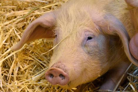 L'efficience protéique de l'élevage porcin est bien meilleure que ne le prétendent les fake-news relayées sur internet.