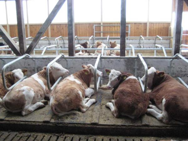 Stabulation à logettes pour taurillons d'engraissement avec une pente de 5%