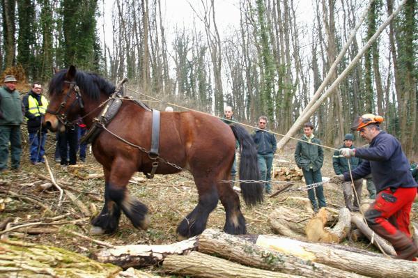 Démonstration de débardage avec un cheval ardennais.